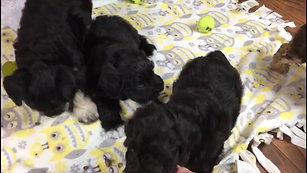 Sweet pea's pups - 7 weeks old