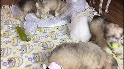 Hazels pups - 8 weeks old