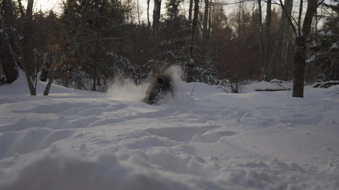 Standard Poodle Playing in Snow
