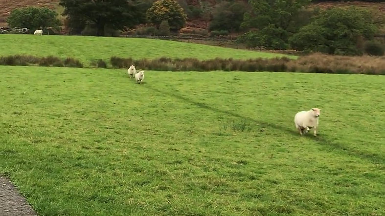 Sheep in a hurry!