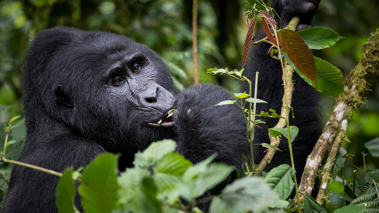 Mountain Gorillas Bwindi Impenetrable Forest