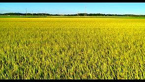稲の育成状況確認