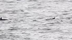 Common Dolphins 03/2021