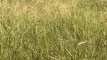 Barley bowing near Gaza