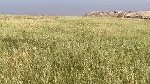 Early field near Gaza, barley past Lev 2:14, dropped oats