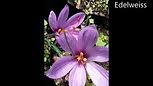 Floracion Azafran 20 Abril 2017