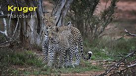 2 Leopards on Kruger Photo Safari - Episode 14