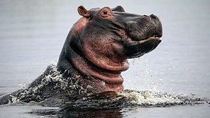 Hippos - Africa's River Giants