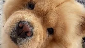 Cute Brown Puppy 3