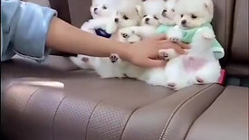 Cute Little White Puppies In The Back Seat