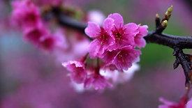 Cherry blossoms on the Japanese sakura tree
