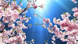 Cherry blossoms animation
