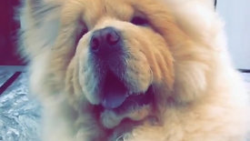 Cute Hairy Brown Dog