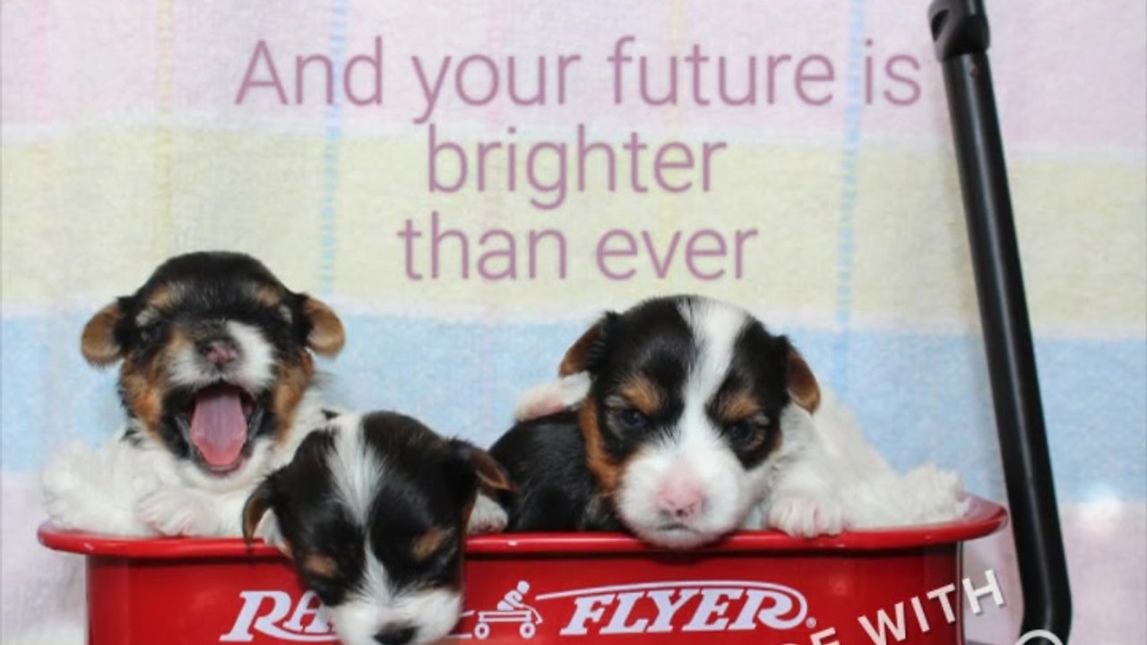Gigi x Tux puppies 3wks