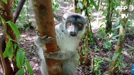 Madagascar - une brigade privée chasse les braconniers pilleurs de forêt I AFP Reportage
