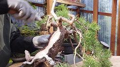 Scots Pine Deadwood
