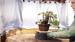 A Scots Pine Gets An Upgrade