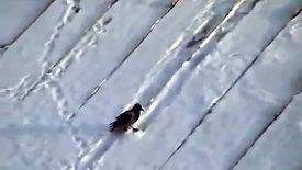 Un corbeau qui fait de la luge, juste pour le fun!