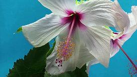Hibiscus - 8208