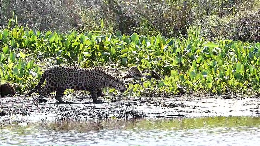 Jaguar Encounters