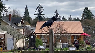 Crow in front of Amrita House