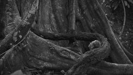 Ficus luschnathianum | Teaser