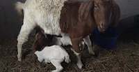 twin goats drinking milk from mama