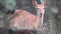 山中湖の鹿