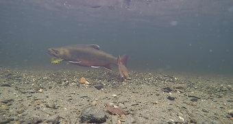 Spawning Brook Trout - Upper Dead Diamond