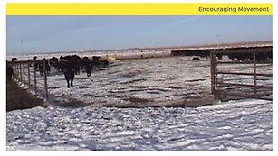 Low Stress Cattle Handling:  Pen Emptying