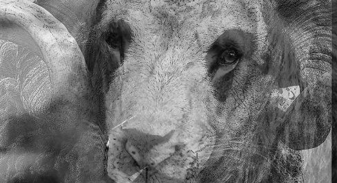 Le bélier et le lion