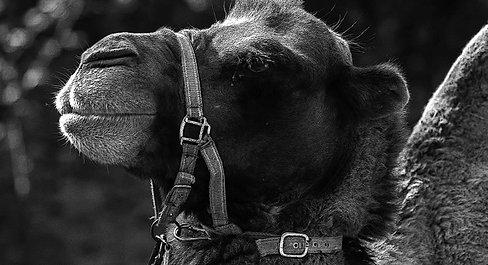 un drôle de chameau