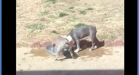 Boston Terrier Fun with Water