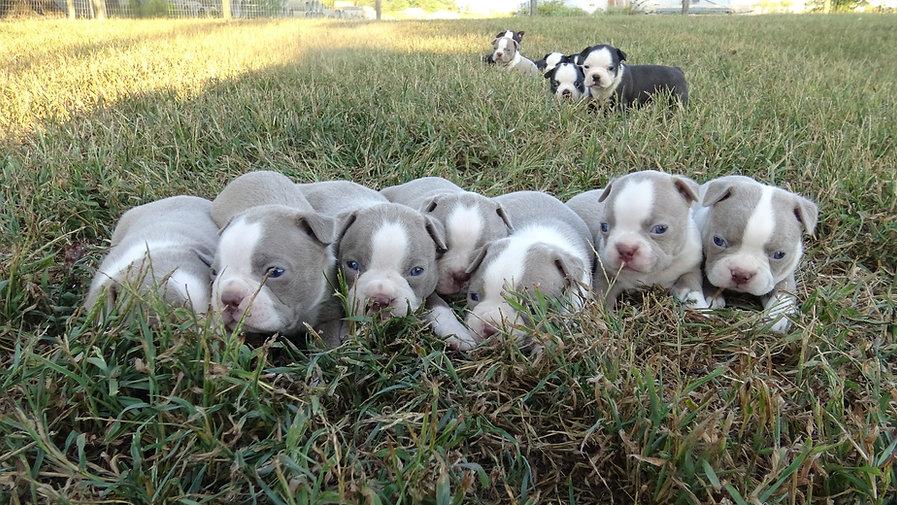 House of Hepley Boston Terriers
