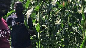 Huge maize no Termites