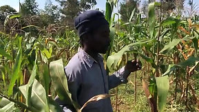 Maize and fighting FAW and dry-spell