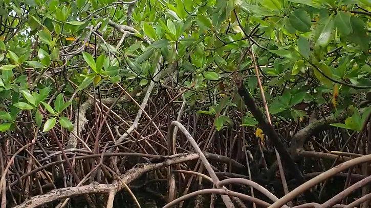 manglares, joya de nuestro ecosistema, Bocas del toro, Panamá