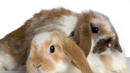 Rabbit analgesia - expert series