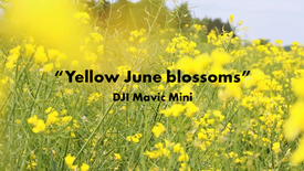 Yellow June Blossoms