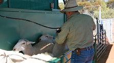 Demonstration of Drenching Sheep