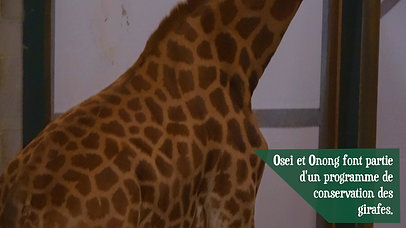 Parc Animalier - Arrivée des girafes