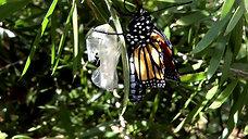 Monarch Butterfly Metamorphosis Timelapse