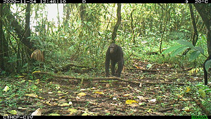 A pensive chimpanzee