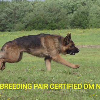 Lebenshunger German Shepherds Breeder Puppies For Sale In Maine