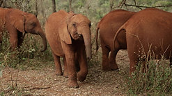 EPI- Africa's vision to save its elephants