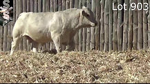 Charolais Lot 903 - SOLD