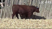 Red Angus Lot 449 - SOLD
