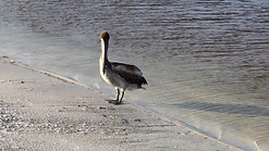"""Pelican & Ocean"" Nature, Relaxation - First Cut"