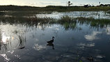 """Lonesome Duck"" Nature Film"