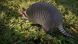 """ARMADILLO's World of Wonder"" - Nature Film"